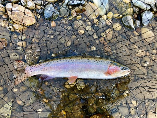 A rainbow trout caught in the Big Wood RIver