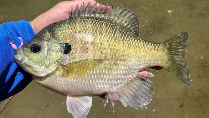 A large bluegill caught on a pink micro jig
